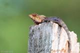 Oriental Garden Lizard - Bloedzuiger - Calotes versicolor