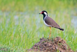 Red-wattled Lapwing - Indische Kievit - Vanellus indicus