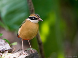 Indian Pitta - Negenkleurige Pitta - Pitta brachyura