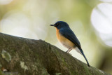 Tickell's Blue Flycatcher - Tickells Niltava - Cyornis tickelliae