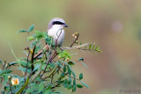 Long-tailed Shrike - Langstaartklauwier - Lanius schach