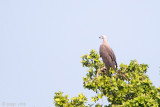 Grey-headed Fish Eagle - Grote Rivierarend - Ichthyophaga ichthyaetus
