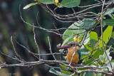 Stork-billed Kingfisher - Ooievaarsbekijsvogel - Pelargopsis capensis