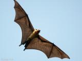 Greater Short-nosed Fruit Bat - Kortneusvleerhond - Cynopterus sphinx