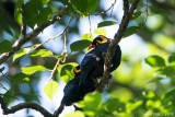 Lesser Hill Myna - Grote Beo - Gracula religiosa