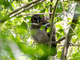 Brown Wood Owl - Bruine Bosuil - Strix leptogrammica
