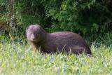 Ruddy Mongoose - Herpestes smithii