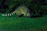 Ring-tailed Civet - Rassé - Viverricula indica