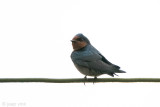 Hill Swallow - Hutzwaluw - Hirundo domicola