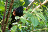 Green-billed Coucal - Ceylonspoorkoekoek - Centropus chlororhynchos