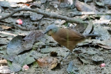 Ashy-headed Laughingthrush - Grijskoplijstergaai - Garrulax cinereifrons