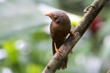 Orange-billed Babbler - Ceylonese Babbelaar - Turdoides rufescens