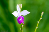 Wild Orchid - Wilde Orchidee - Phalaenopsis pulcherrima