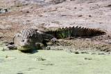 Mugger Crocodile - Moeraskrokodil - Crocodylus palustris