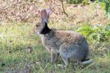Black-Naped Hare - Zwartnekhaas - Lepus nigricollis