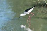 Black-winged Stilt - Steltkluut - Himantopus himantopus