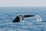 Blue Whale - Blauwe Vinvis - Balaenoptera musculus