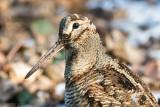 Netherlands, Terschelling: Woodcock