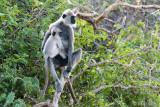 Tufted Gray Langur - Ceylonhoelman - Semnopithecus priam
