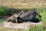 Water Buffalo - Waterbuffel - Bubalus bubalis