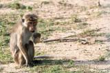 Toque Macaque - Ceylonkroonaap - Macaca sinica