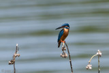Common Kingfisher - IJsvogel - Alcedo atthis