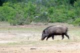 Wild Boar - Wild Zwijn - Sus scrofa