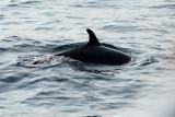Spinner Dolphin - Langsnuitdolfijn - Stenella longirostris