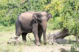 Sri Lankan Elephant - Ceylon-olifant - Elephas maximus maximus