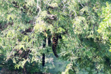Leopard - Luipaard - Panthera pardus