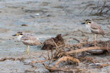 Great Thick-knee - Grote Griel - Esacus recurvirostris