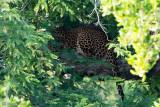 Leopard - Luipaard - Panthera pardusa
