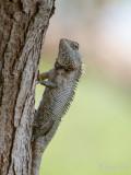 Common Green Wood Lizzard - Groene Boshagedis - Calotes calotes
