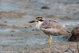 Great Thick-knee - Grote Griel - Esacus recurvirostrist