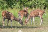 Sri Lankan Axis Deer - Axishert - Axis axis ceylonensis