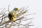 Orange-breasted Green Pigeon - Oranjeborstpapegaaiduif - Treron bicinctus