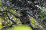 Brown Fish Owl - Bruine Visuil - Ketupa zeylonensis