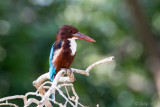 White-throated Kingfisher - Smyrna IJsvogel - Halcyon smyrnensis