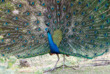 Indian Peafowl - Pauw - Pavo cristatus