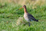 Netherlands, Terschelling: Black-tailed Godwit