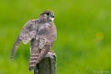 Netherlands, Terschelling: Merlin