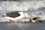 Netherlands, Terschelling: Gulls