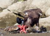 Hawks, Eagles and Falcons