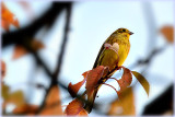 Emberiza citrinella rumeni strnad DSC_0339x04102017pb