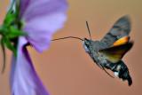 hummingbird_hawkmoth_velerilec_