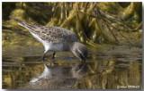 Limicoles et Oiseaux Marin - Sea and Shore birds