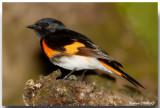 Parulines, Passerins et Viréos - Warblers, Buntings & Vireos