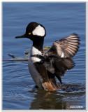 Les Canards - The Ducks