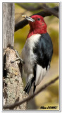 Pic à Tête Rouge - Red-headed Woodpecker