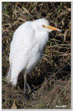 Héron Garde-Bœufs - Cattle Egret